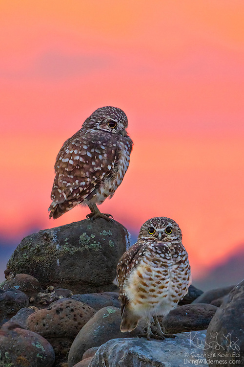 Against a backdrop of fiery clouds illuminated by the rising sun, two burrowing owls (Athene cunicularia) look out from their perches among the rocks in Grant County, Washington.