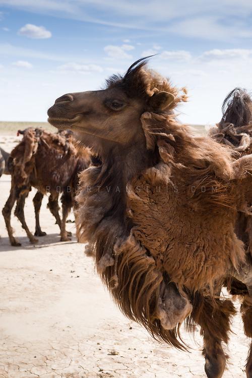 Bactrian camels shedding their winter fur in the Gobi Desert, Mongolia. Photo © Robert van Sluis - www.robertvansluis.com