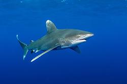 Oceanic Whitetip Shark, Carcharhinus longimanus, Bahamas, Atlantic Ocean