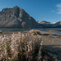 Rime Ice coats shrubs beside Bow Lake in Banff National Park, Alberta, Canada. Behind are Crowfoot Mountain, Wapta Icefield and Mount Thompson.