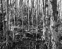 Swamp walk with Kristen and Angela in the Everglades behind  Clyde Butcher's Big Cypress Gallery. Image taken with a Leica X2 camera (ISO 100, 24 mm, f/4, 1/80 sec).