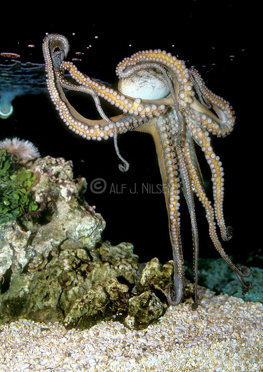 A huge Octopus is crawling on the front glass of a display tank at Waikiki Aquarium, Hawaii.
