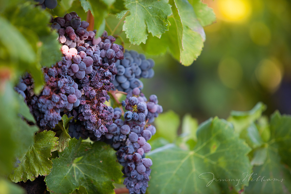 Clusters of grapes on the vine at a vineyard in France