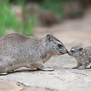 Rock hyrax (Heterohyrax brucei) family in Masai Mara National Reserve, Kenya, Africa.