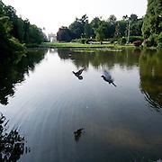 Una coppia di piccioni sorvola lo stagno del Parco Sempione a Milano...Two pigeons are overflying the pond of Parco Sempione in Milan.