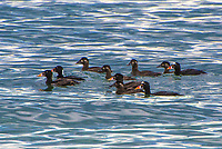 A raft of surf scoters drifts by on Washington's Hood Canal on a brisk late afternoon. A type of large diving sea duck, the drakes (males) have beautifully bright orange and white bills with a black spot while typical in most ducks, the hens (females) have a rather drab coloration by comparison. Surf scoters can be found in the North Atlantic and North Pacific oceans, where they typically breed in the tundra of Alaska and Northern Canada, and are very occasionally seen on the Gulf of Mexico, the Great Lakes and even the British Isles.