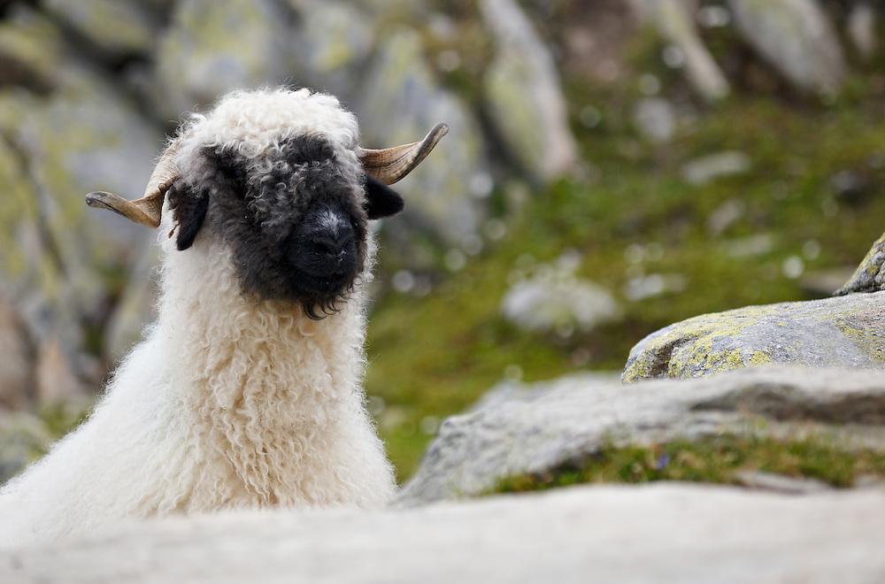 Switzerland - Aletsch glacier sheep