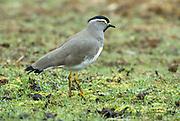 Spot Breasted Lapwing (Plover), Vanellus melanocephalus, Simien Mountains National Park, Ethiopia, Endemic to Ethiopian Highlands,