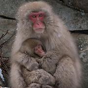 Snow Monkey, mother and baby, Jigokudani Monkey Park in Japan.