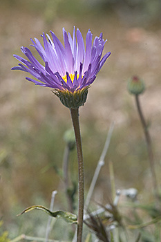 Mojave aster, Xylorhiza tortifolia, Death Valley National Park, California