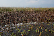 May 23, 2010, A coating of BP oil  on the grass lining Lake Mondicito  off  Bayou Pointe-au-Chien.