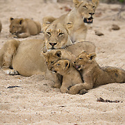 African lion (Panthera leo) mother cleaning and nurturing young cubs. Londolozi Game Reserve, South Africa