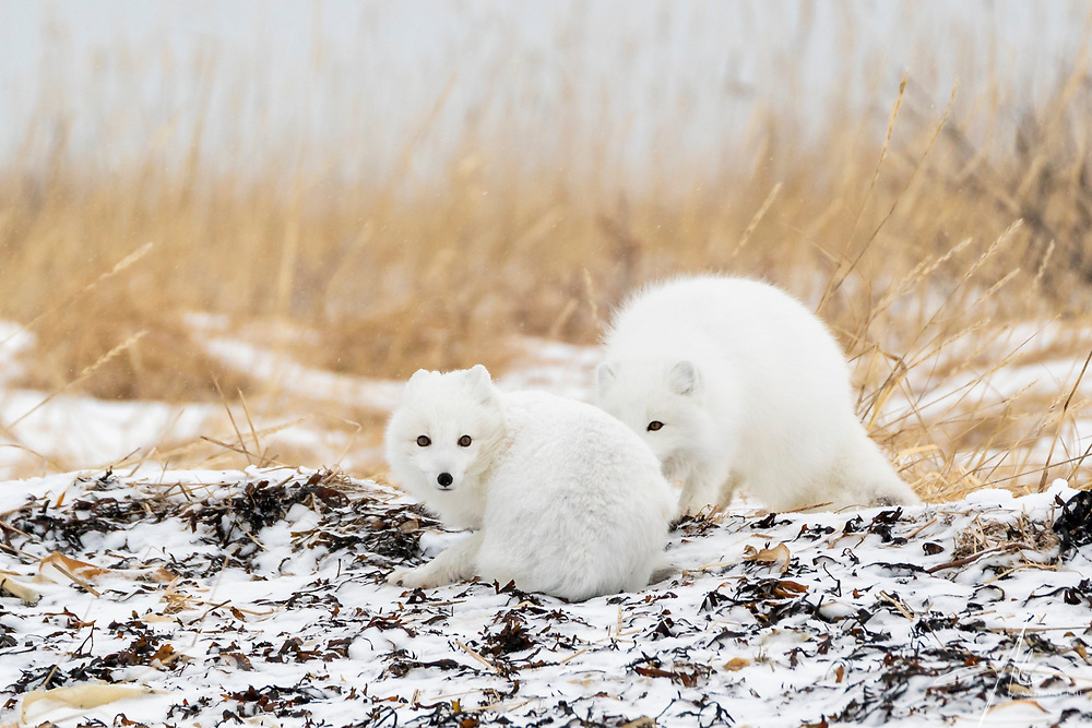 A pair of Arctic Fox playing hide and seek.