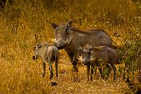 Warthogs, Camp Jabulani, Kapama Private Game Reserve, near Kruger National Park, South Africa