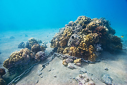 Stony coral colonies, chained and exploited for mooring, Lobe Coral, Porites lobata, Finger Coral, Porites compressa, Cauliflower Coral, Pocillopora meandrina, etc., Keauhou Bay, off Kona Coast, Big Island, Hawaii, Pacific Ocean