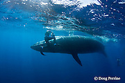 Bryde's whale, Balaenoptera brydei or Balaenoptera edeni, narrowly misses photographer Brandon Cole after making a sudden turn to avoid hitting a marlin feeding on a baitball of sardines, off Cabo San Lucas, Baja California, Mexico ( Eastern Pacific Ocean ) #3 in sequence of 5; MR 399