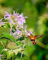 Clearwing Hummingbird Moth (Hemaris thysbe). Image taken with a Fuji X-H1 camera and 100-400 mm OIS lens