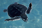 juvenile Kemp's ridley sea turtle, Lepidochelys kempii (captive), Critically Endangered Species, in experimental tank at University of Miami