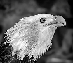 Angel came to the National Eagle Center in 2000.  She had been found on the ground with a broken wing near Grantsburg, WI in 1999. She was just a fledgling and had been surviving on scraps of fish from nearby herons' nests.<br /> <br /> Angel was treated at the University of Minnesota's Raptor Center in St. Paul, where she underwent surgery and realignment of the broken bone in her wing. Though repair of the bone was successful, the damage to the musculature could not be repaired. Angel is unable to sustain flight as she would need to survive in the wild.<br /> <br /> Angel seems to have adjusted quite well as an eagle ambassador. She has matured from a dark headed juvenile to a fully mature, white-headed female bald eagle. Angel's loud vocalizations can be heard when a wild eagle passes by the windows of the National Eagle Center. Angel got her name in a naming contest by a 4th grade student from St. Felix School in Wabasha.<br /> <br /> Angel's regal appearance has made her a favorite guest at many Native American ceremonies and countless educational events for schools, scout troops and communities.