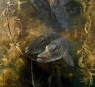 Northern Pike (Spawning)<br /> <br /> Viktor Vrbovsky/Engbretson Underwater Photography