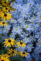 Aster × frikartii 'Mönch'  AGM with rudbeckia. Michaelmas daisy