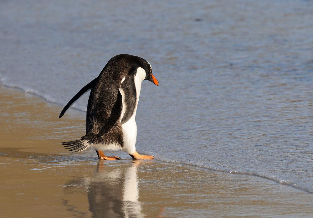 A gentoo penguin  (Pygoscelis papua) enter the sea near its nesting colony on Saunders Island. Saunders Island, Falkland Islands. 15Feb16