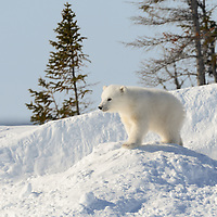 Three-month-old polar bear cub is posing at the opening to its den in Wapusk National Park south of Churchill Manitoba Canada near the Hudson Bay.