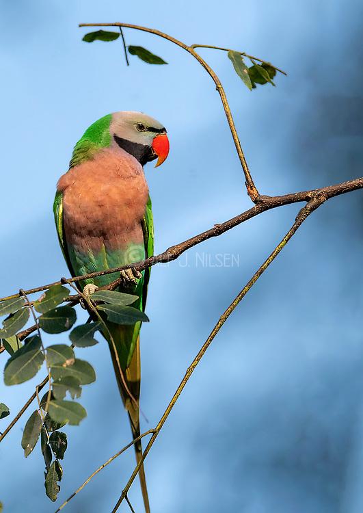 Red-breasted parakeet (Psittacula alexandri). Male from Kaziranga NP, Assam, India.