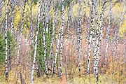 Autumn aspen grove, Southern Idaho
