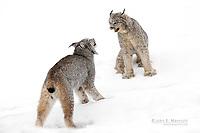 Wild lynx males fighting