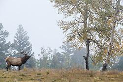 Bull elk in fog during fall rut, Vermejo Park Ranch, New Mexico, USA.