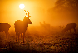 © Licensed to London News Pictures. 06/02/2020. London, UK. Deer look for food on a misty morning in Bushy Park, south west London. After a period of clear and cold days, rain and wind are forecast for the next few days as the UK feels the effects of Storm Ciara. Photo credit: Peter Macdiarmid/LNP
