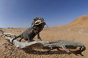 Namaqua Chamaeleon (Chamaeleo namaquensis) Namib Desert sand | Das junge Wuestenchamaeleon (Chamaeleo namaquensis) hat innerhalb von Sekundenbruchteilen seine extrem lange Zunge herausgeschleudert. Das Sekret an der Zunge ist nicht klebrig, es befeuchtet ledglich die an der Spitze in zwei Lappen aufgeteilte Zunge. Das Zugreifen mit der verdickten, feuchten Zungenspitze befördern die Beute, hier einen endemischen Käfer (Cauricara eburnea), mit sehr hoher Erfolgsquote in das Maul des hungrigen Reptils.