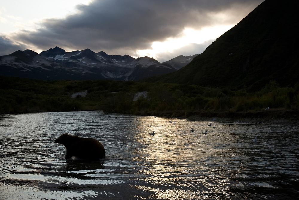 USA, Alaska, Katmai National Park, Kinak Bay, Brown Bear (Ursus arctos) walking in river fishing for spawning salmon on autumn evening