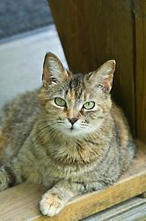 beautiful green eyed tabby cat