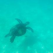 Green Sea Turtle (Chelonia mydas) swimming alone in blue green water. Galapagos, Ecuador.