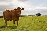 Brown cow in a field looking at camera, Dartmoor, Devon, UK food industry