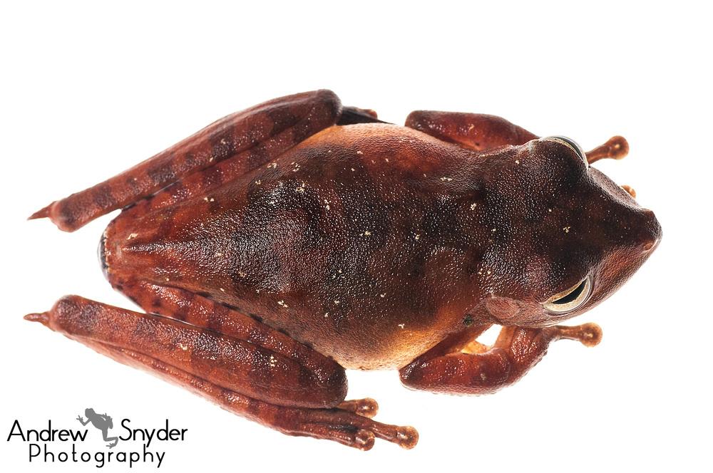 Convict treefrog, Hypsiboas calcaratus, Kanuku Mountains, Guyana, July 2013