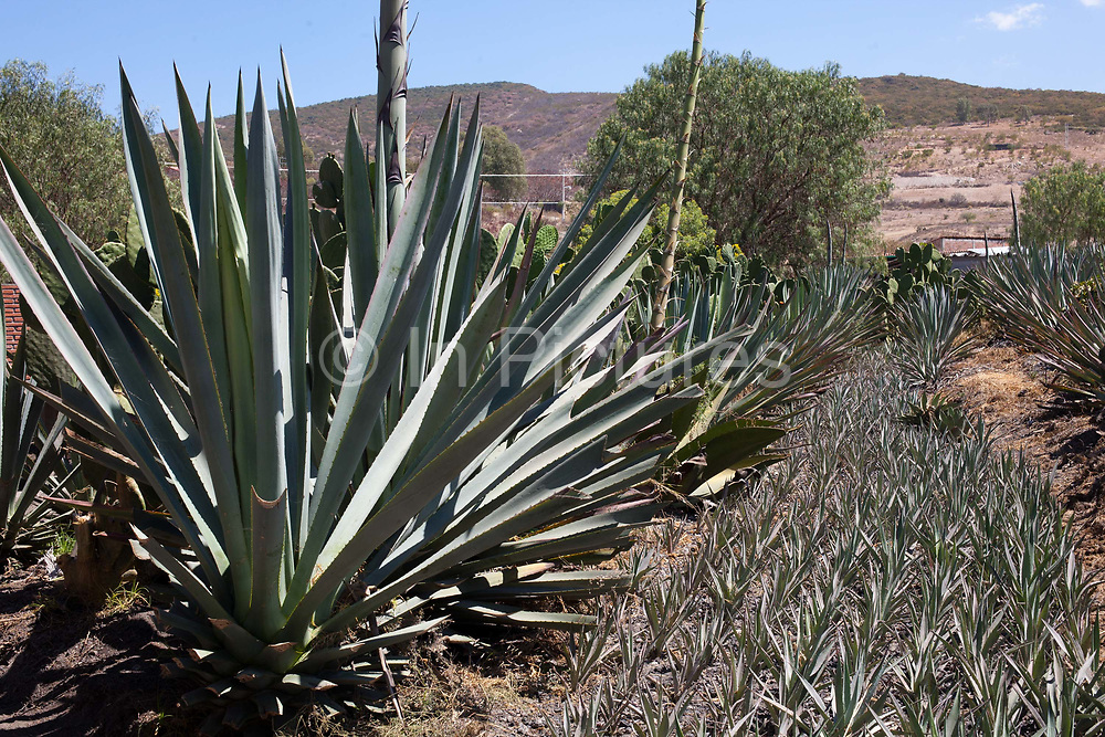 Agave cacti in the plantation. Oaxaca in southern Mexico is known for being the main producer of Mescal, the drink of which Tequila is a type. The Mescal route around the area of Mitla has dozens of artisan distilleries which can be visited to take part in Mescal tasting sessions and to see how they cut the agave cactus and make the drink in the traditional way.