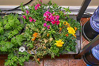 AeroGarden Farm 01-Right. Flowers: Dianthus, Snapdragon, Marigold, Calendula (109 days). Image taken with a Leica TL-2 camera and 35 mm f/1.4 lens (ISO 500, 35 mm, f/8, 1/50 sec).