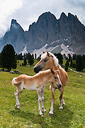 Horse and colt. North faces of the Geisler/Odle Group drop nearly 1000 meters into Val di Funes (Villnöß valley) in the Dolomites, Italy, Europe. Puez-Geisler Nature Park (Italian: Parco naturale Puez Odle; German: Naturpark Puez-Geisler) is in Südtirol/South Tyrol/Alto Adige, in the Dolomiti, part of the Southern Limestone Alps, Italy. The Dolomites were declared a natural World Heritage Site (2009) by UNESCO.
