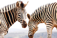 LOUWSBURG - 7 October 2016 - Two zebras in the Ithala Game Reserve near the town of Louwsburg in northern KwaZulu-Natal. Picture: Allied Picture Press/APP