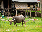 21 JUNE 2016 - DON KHONE, CHAMPASAK, LAOS: Water buffalo, also sometimes called carabao, graze in a fallow rice field near Don Khone village. Don Khone Island, one of the larger islands in the 4,000 Islands chain on the Mekong River in southern Laos. The island has become a backpacker hot spot, there are lots of guest houses and small restaurants on the north end of the island.       PHOTO BY JACK KURTZ