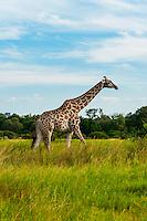 Giraffe, near Kwara Camp, Okavango Delta, Botswana.