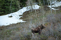 On my way down Red Grade Road in the Bighorn Mountains, I encountered 2 bull moose about 100 feet off the road, above Little Goose Canyon. I was told that there was a young calf nearby as well, but I never saw it.