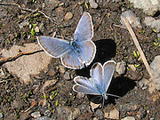 Boisduval blue butterfly (Plebejus icarioides, in the Lepidoptera order of insects), on the Church Mountain trail in Mount Baker-Snoqualmie National Forest, in the North Cascades mountain range, Washington, USA.