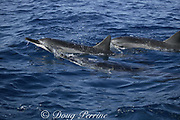 Hawaiian spinner dolphins or Gray's spinner dolphin, Stenella longirostris longirostris, surfacing, Kona, Hawaii ( the Big Island ), USA ( Central Pacific Ocean )
