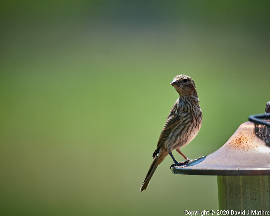 Immature House Finch (?). Image taken with a Nikon D5 camera and 600 mm f/4 VR telephoto lens (ISO 400, 600 mm, f/5.6, 1/1250 sec).