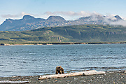A brown bear adult boar walks past a driftwood log along the Cook Inlet at the McNeil River State Game Sanctuary on the Kenai Peninsula, Alaska. The remote site is accessed only with a special permit and is the world's largest seasonal population of brown bears in their natural environment.