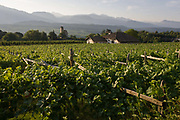 Traditional rack method and vineyards in the Oltradige wine growing region south-west of Bolzano, South Tyrol, northern Italy. South Tyroleans are almost all Catholics and quite conservative - though it depends on the areas. In South Tyrol there are three indigenous wine varieties: Schiava, Gewürztraminer and Lagrein. The Überetsch (Oltradige in Italian) is a hilly section of the Etschtal in South Tyrol, northern Italy. It lies south-west of Bolzano and is a known tourist destination, famous for its wines, castles and lakes (Kalterer See, Montiggler Seen). The municipalities of the Überetsch are Kaltern and Eppan.